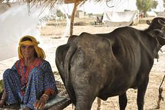 1-DSC_0470_2 (bone surgeon) Tags: animal buffalo asia oldwoman