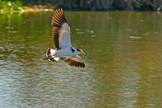 Masked Lapwing Plover