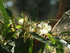 jarrah flowers (ClareSnow) Tags: jarrah eucalyptusmarginata gumtree flower nutsaboutnatives summer