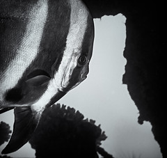 WHAT MIRROR ? (ferlopez) Tags: batfish fish longfinbatfish marinelife plataxteira spadefish underwaterphotography wailea mauihawaii usa