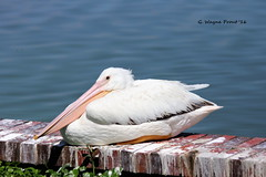 American White Pelican (Pelecanus erythrorhynchos) (Gerald (Wayne) Prout) Tags: americanwhitepelican pelecanuserythrorhynchos animalia chordata aves neonithes neognthae neoaves pelecaniformes pelecanidae pelecanus mortonlake cityoflakeland polkcounty florida usa prout geraldwayneprout canon canoneos60d lakeland lake morton polk county pelicans american white eastmortonlake lakemorton lakemortonparkandgreenbelt park greenbelt