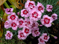 Dianthus (yewchan) Tags: flower flowers garden gardening blooms blossoms nature beauty beautiful colours colors flora vibrant lovely closeup dianthus sweetwilliams