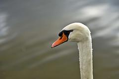 Schwanensee (Michael Dring) Tags: gelsenkirchen buer bergersee herbst stillleben schwan swan cygnet afs105mm14e d800 michaeladring