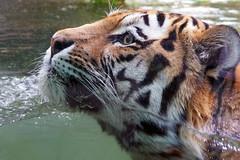 Tiger (ingrid eulenfan) Tags: leipzig zoo tier tiger schwimmen baden