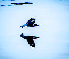 Going hard. (Omygodtom) Tags: reflection reflections shadow bird bokeh abstract art animalplanet outdoors natural nature autumn nikon d7100 nikon70300mmvrlens river water action motion flying flickr