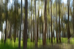 I feel the earth move... (setoboonhong) Tags: nature outdoor gum trees forest evening light colours lines abstract camera vertical movements effects landscape margaret river south western australia song i feel earth move carole king