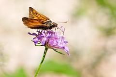 Hesperidae (luporosso) Tags: natura nature naturaleza naturalmente nikond300s nikon farfalla farfalle mariposa papillon borboleta fiori flowers bokeh macro closeup insect insetto abigfave