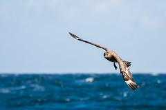 Great Skua #6 (scilly puffin) Tags: great greatskua pelagic sapphirepelagics islesofscilly