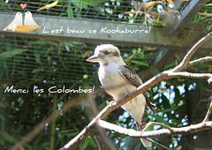 Ce beau Kookaburra et moi nous vous souhaitons un agrable mardi. (liliane776.) Tags: kookaburra