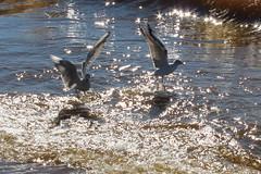 Sunny day (galinaderusia) Tags: seagulls gaviotas sunny birds water outdoor sea wave