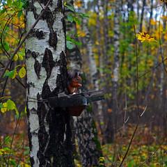 Squirrel (lhemund) Tags: outdoor park nature squirrel      moscow 18 parking yahoo flickr dof nikon d7k d7000