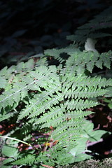 Fern (CAYphotos) Tags: muirwoods redwoods nationalpark millvalley trees fern