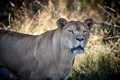 What are you looking at ? (rondoudou87) Tags: lion wild wildlife parc zoo reynou pentax k1 sauvage