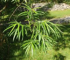 Salix viminalis KURVPIL Osier / Korb-Weide (per.aasen) Tags: korbweide salix pil salixviminalis teinetre kurvpil osier korgpil