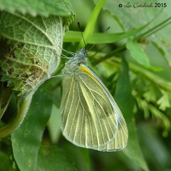 Indian cabbage white (LPJC) Tags: butterfly munnar kerala india 2015 lpjc indiancabbagewhite