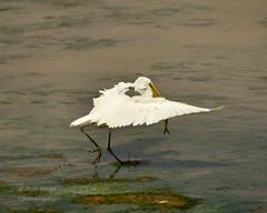 great egret-1-3 (labirderbw) Tags: greategrets