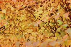 ast2 (obsequies) Tags: autumn fall harvest leaves bokeh colours colors canada manitoba forest mori trees shrubs colorful colourful love whimsy whimsical macro seasons change changing leaf patchwork rain magic magical home country chic cottage