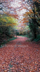 Tintern Trails (Ken Meegan) Tags: tinterntrails tinternwoods tinternabbey saltmills cowexford ireland woods autumn trees tree