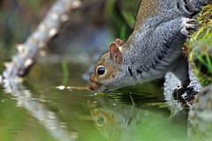 Thirsty work hiding nuts all day (Pikingpirate1) Tags: nuts squirrel thirsty ngc