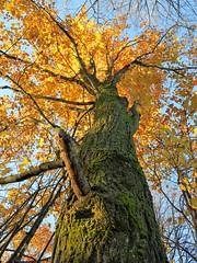 IMG_3606 (2) majestic maple (jgagnon63@yahoo.com) Tags: fallcolor autumn october fall camp dickinsoncounty upperpeninsula uppermichigan maples mapleleaf maple