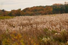 champ de roseaux (ptxjp) Tags: oiseaux ocan nature exterieur eau champs roseaux nikon d300 captureone