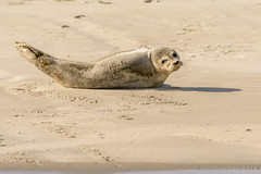 Hello? (JnHkstr) Tags: ameland fotoclub gespot zeehond seal robbenbank sigma150600 nikon d7100 waddenzee