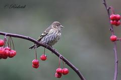 tarin des pins - pine siskin (ricketdi) Tags: bird cantley tarin tarindespins pine pinesiskin spinuspinus
