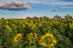 Field with Sunflowers (Infomastern) Tags: lund blomma building cloud field flower flt himmel moln sky solros sunflower