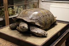Schildkrte: Langsam kommt man auch zum Ziel... (julia_HalleFotoFan) Tags: hallesaale universitt zoologischesinstitut zoologischesammlungen schildkrte