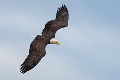 Bald Eagle (nikunj.m.patel) Tags: eagle baldeagle raptors birdofprey birdinflight birds nature photography wildlife