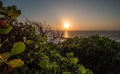 IRIX sunrise 2 (OzzRod) Tags: pentax k1 irix15mmf24blackstone sun sunrise intothesun dawn ocean sea bitou leaves web backlit susangilmore newcastle australia