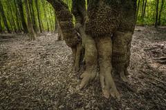 Woodland Choreography (MichaelSOwens) Tags: hdr georgia canoochee river swamp tupelo nyssaogeche ogeecheelime