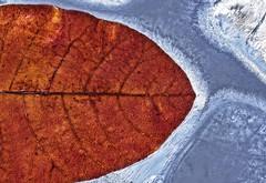 A little frozen leaf from Senanque Abbey, France (johnsinclair8888) Tags: leaf ice frozen nikon sigma macro art pattern backlight nature backlit d750