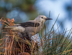 Clark's Nutcracker (Nucifraga columbiana) (NigelJE) Tags: clarksnutcracker nutcracker clarkscrow woodpeckercrow nucifragacolumbiana nucifraga corvidae corvid nigelje lakecountrybc bird