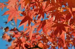 Kanazawa Castle Momiji (jpellgen (@1179_jp)) Tags: kanazawajo kanazawa castle maeda samurai bushi 2010 december winter nikon nikkor d40 japan japanese kaga ishikawa nihon nippon 金沢市 石川県 金沢 gojikken nagaya yagura hishi fall autumn leaves momoji koyo november
