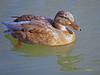 Hembras de  (3) (eb3alfmiguel) Tags: aves acuaticas anade
