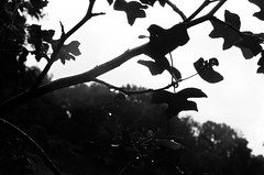 The village garden (hollyjadephoto) Tags: infraredfilm blackandwhite light tone nature leaves trees forest garden nationaltrust