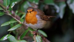 European Robin (Franck Zumella) Tags: robin european redbreast red rouge gorge rougegorge bird