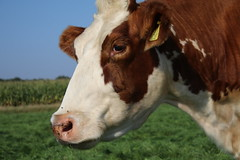 Sweet Delta Freedom (excellentzebu1050) Tags: cow closeup cattle dairycows farm animalportraits animal outdoor field heifer coth5