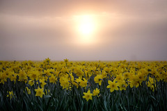 Daffodil Cheer *Exp* (gwendolyn.allsop) Tags: skagit valley washington spring flowers fields farm daffodil yellow