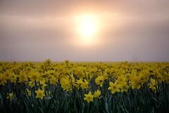 Daffodil Cheer (gwendolyn.allsop) Tags: skagit valley washington spring flowers fields farm daffodil yellow