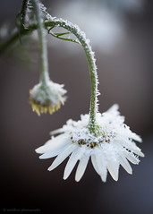 Frozen (samiKoo) Tags: flower nature naturallight macro sigma105mmmacro canon 6d frost ice cold naturephotography finland photography photo photograph white daisy