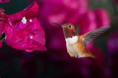 Bougainvillea Birdie (Patricia Ware) Tags: allenshummingbird backyard birdsinflight bougainvillea california canon ef500mmf4lisusm fullframe manhattanbeach multipleflash selasphorussasin tripod httppwarezenfoliocom â©2016patriciawareallrightsreserved specanimal