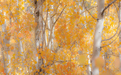 Aspens 2 (PhotoBobil) Tags: aspens colorado fall grandlake