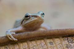 Bamboo frog (Guldenfels-photos) Tags: frog ecuador equateur serpent lezard lizard grenouille verte green yellow nikon d800 macro tropical blue i am