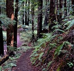Ano Nuevo,  Butano State Park, Goat Hill trails, Little Butano Creek, redwoods (David McSpadden) Tags: anonuevo butanostatepark goathilltrails littlebutanocreek redwoods