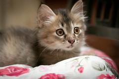 Cutesy Cocoa! (stratman (2 many pix and busy)) Tags: canonphotography eos7dmarkii efs60mmf28macrousm catmoments kittysuperstar cc100 kitteh iso6400 gato kucing comel kittenmagazine katzen neko cat kitten explored cocoa