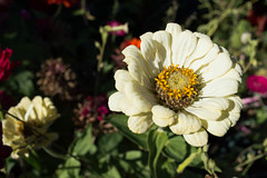 White Daisy Zinnia Flower in Autumn Garden (Mila Araujo @Milaspage) Tags: standingout change tranquility tranquil peace elegant simple pretty delicate details closeup selectivefocus leaves green background zinnia beautyinnature nature fall garden petals petal stamen detail autumn flower daisy white