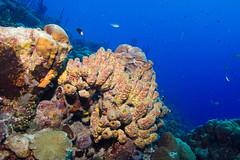 Reef_Bonaire_November 2016 C 3322 (R13X) Tags: bonaire bonairediveandadventure underwaterphotography shorediving wideanglephotography reef coral sponge