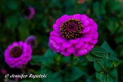 Purpel Zinnia (Bernsteindrache7) Tags: autumn sony alpha 100 color flora fauna flower garden bloom blossom blume outdoor landscape park